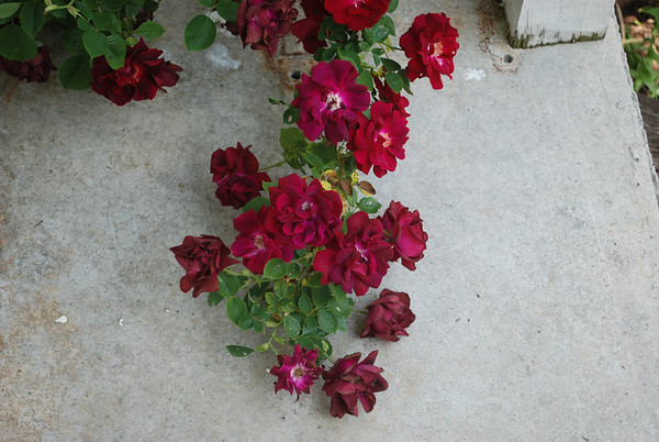 sharon flower